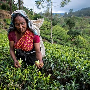 Tea Pickers - Sri Lanka